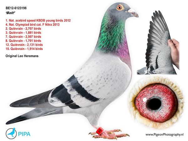 Bolt pigeon